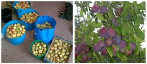 The Secret Acre is prolific in apples and plums.
