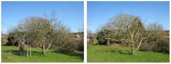 Martin Hayes of the Gloucestershire Orchard Trust prunes a Charles Ross (before & after).