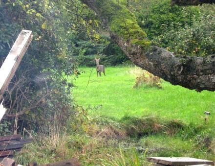 Deer in garden - 241015
