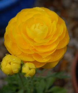 Buttercup Ranunculus 2 - April 2016