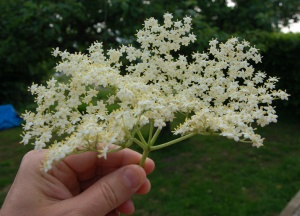 Elderflower 3 - June 16